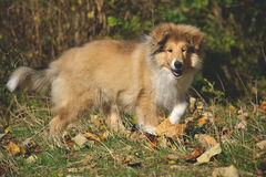 Rough Collie puppy. At 3 months old Stock Photography