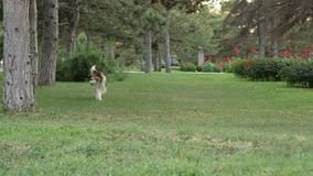 Rough-collie runs stock footage