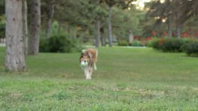 Rough-collie runs stock video footage