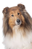 Rough Collie or Scottish Collie. In front of a white background Stock Photos