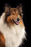Rough Collie. Or Scottish Collie isolated over black background Stock Images