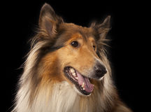 Rough Collie. Or Scottish Collie isolated over black background Stock Photography