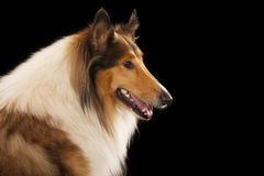 Rough Collie. Or Scottish Collie isolated over black background royalty free stock photos