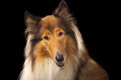 Rough Collie. Or Scottish Collie isolated over black background Royalty Free Stock Photography