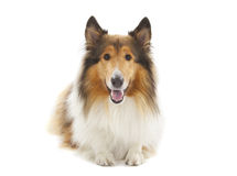 Rough Collie. Or Scottish Collie isolated over white background Royalty Free Stock Image