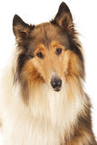 Rough Collie Royalty Free Stock Images