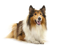 Rough Collie. Or Scottish Collie isolated over white background Stock Image