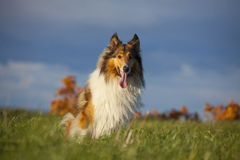 Rough Collie. Or Scottish Collie over nature background Stock Photos