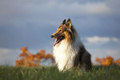 Rough Collie. Or Scottish Collie over nature background Royalty Free Stock Photography