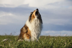 Rough Collie Stock Photography