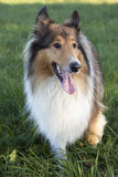 Rough Collie Stock Images