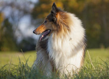 Rough Collie Royalty Free Stock Photography