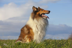 Rough Collie. Or Scottish Collie over nature background Stock Photography