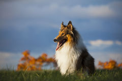 Rough Collie. Or Scottish Collie over nature background Royalty Free Stock Images