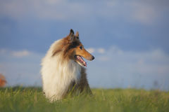 Rough Collie. Or Scottish Collie over nature background Royalty Free Stock Photo