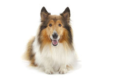Rough Collie. Or Scottish Collie  over white background Royalty Free Stock Images