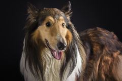 Rough collie - Scottish shepherd (lassie). sable color. Stock Photos