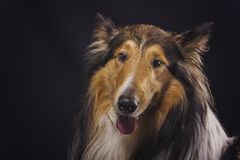Rough collie - Scottish shepherd (lassie). sable color. Royalty Free Stock Photos