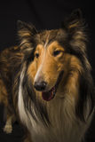 Rough collie - Scottish shepherd (lassie). sable color. Royalty Free Stock Image