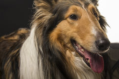 Rough collie - Scottish shepherd (lassie). sable color. Royalty Free Stock Photo