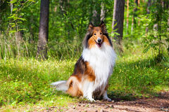 Rough Collie. Or Scottish Collie in summer forest Royalty Free Stock Photo