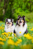 Rough collie and sheltie dogs Royalty Free Stock Photo