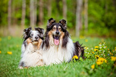 Rough collie and sheltie dogs Stock Images