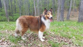 Rough collie and sheltie mix Royalty Free Stock Photos