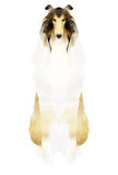 Rough collie sitting Royalty Free Stock Photography