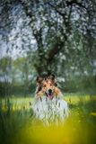 Rough collie sitting under blooming tree Stock Photography