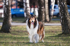 Rough collie. Stock Photos