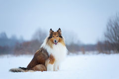 Rough Collie in winter forest Stock Image