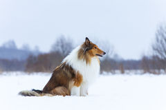 Rough Collie in winter forest Stock Photos