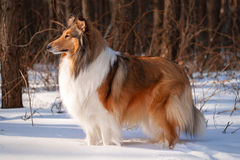 Rough collie in winter forest. Royalty Free Stock Photos