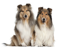 Rough Collies, 6 and 7 years old, sitting Royalty Free Stock Image