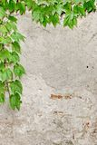 Rough Concrete Wall With Hanging Grape Vine Vertical Background Stock Image