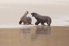 Rough courtship of male and female Hookers sealion Royalty Free Stock Image