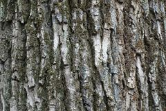 Rough and deeply fissured bark of tree. Rough and deeply fissured bark of a tree Stock Image