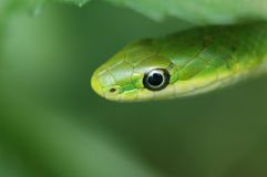 Rough Green Snake. Closeup photo of Rough Green Snakes Stock Photography