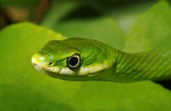 Rough Green Snake Closeup, Stock Images