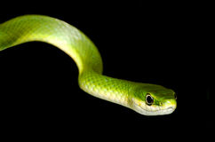 Rough Green Snake Closeup Isolated on Black,. A closeup of a rough green snake isolated on black stock photography