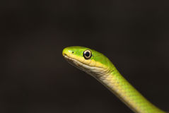 Rough Green Snake Head Stock Image