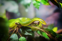 Rough Green Snake on jungle Royalty Free Stock Images