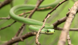 Rough green snake Royalty Free Stock Photos