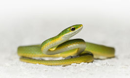 Rough green snake (Opheodrys aestivus) Royalty Free Stock Images