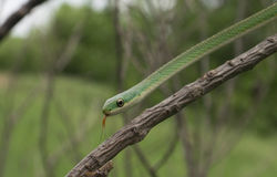 Rough green snake - Opheodrys aestivus Stock Photos
