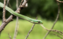 Rough green snake - Opheodrys aestivus Stock Images