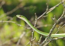 Rough Green Snake, Opheodrys aestivus Stock Photos