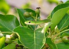 Rough Green Snake, Opheodrys aestivus Stock Photography