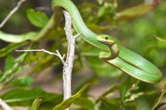 Rough Green Snake Stock Photo